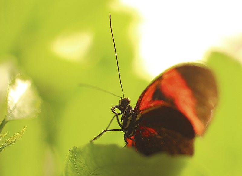 Zwarte rode vlinder